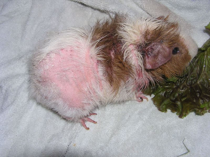 Ear Mites in Guinea Pigs http://guineapigconnection.typepad.com/pig_notes/2012/09/what-mites-do-to-guinea-pigs-part-i.html