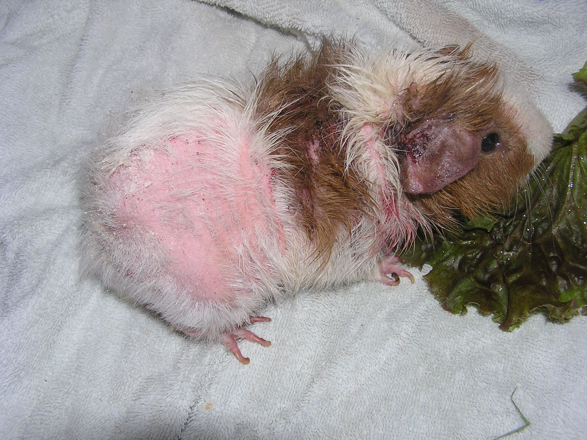 What Does It Mean If A Guinea Pig Is Losing Hair